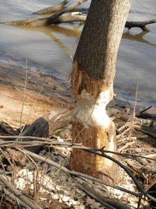 Tree damaged by beaver