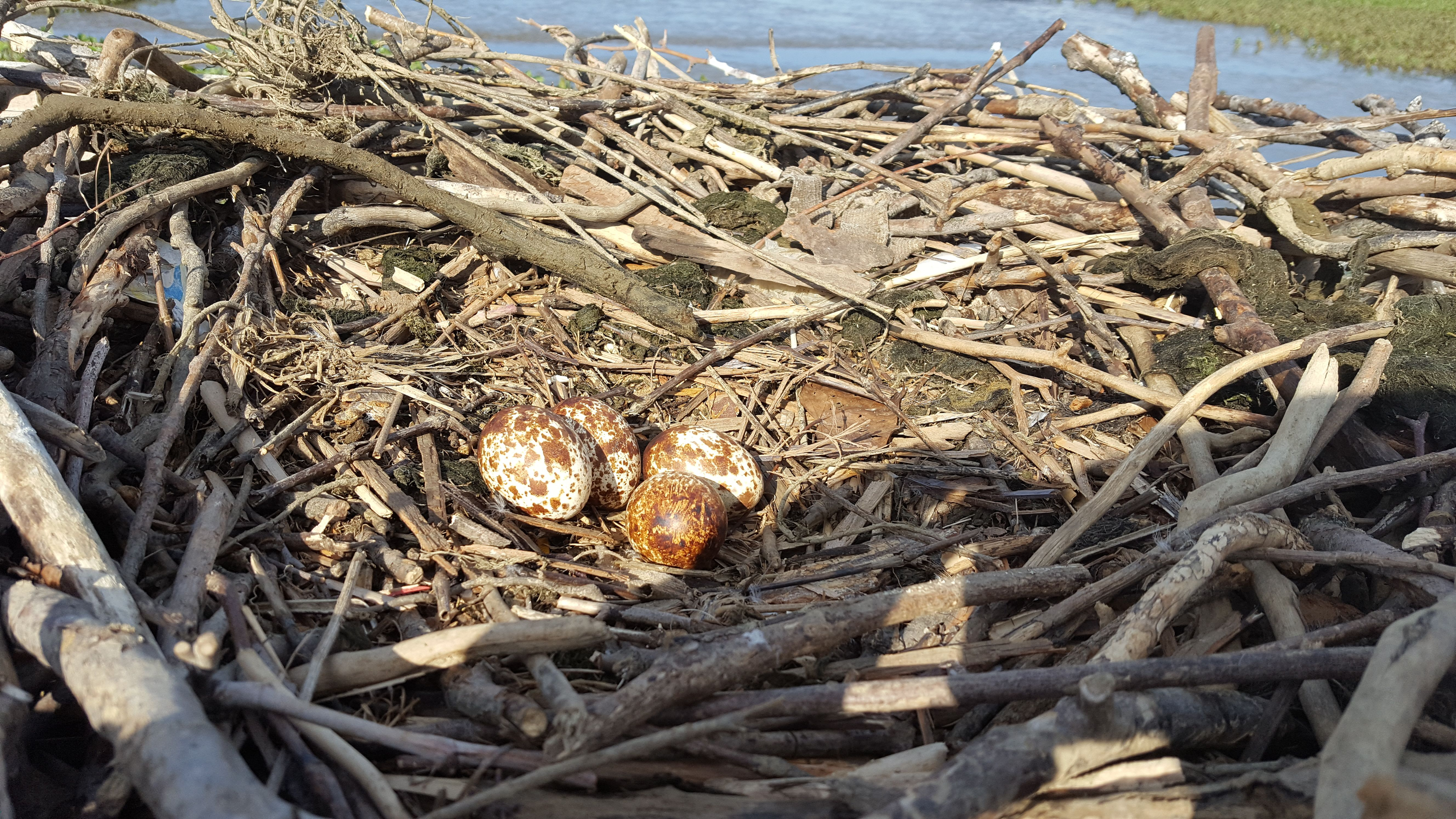 osprey eggs