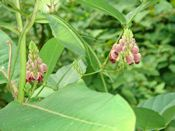 Groundnut vine