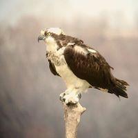 Osprey perched