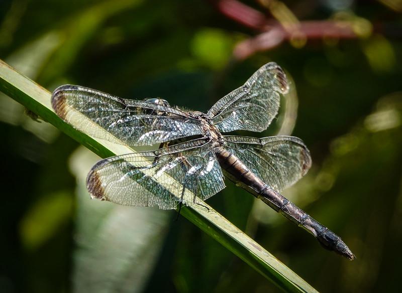 Great blue skimmer dragonfly