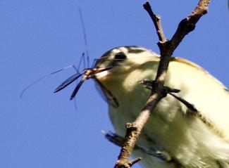 Warbling vireo