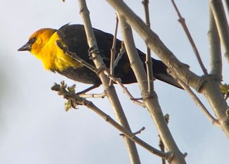 yellow-headed