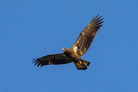 eagle in flightg