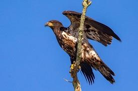 fledged eagle