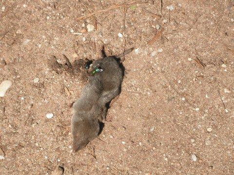 Short-tailed shrew