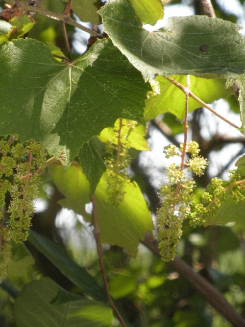 Native grapes