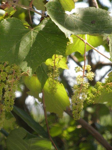 Native grapes