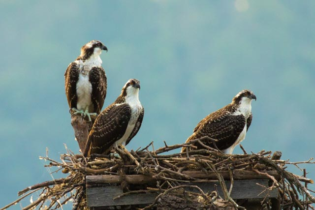 Juvenile ospreys