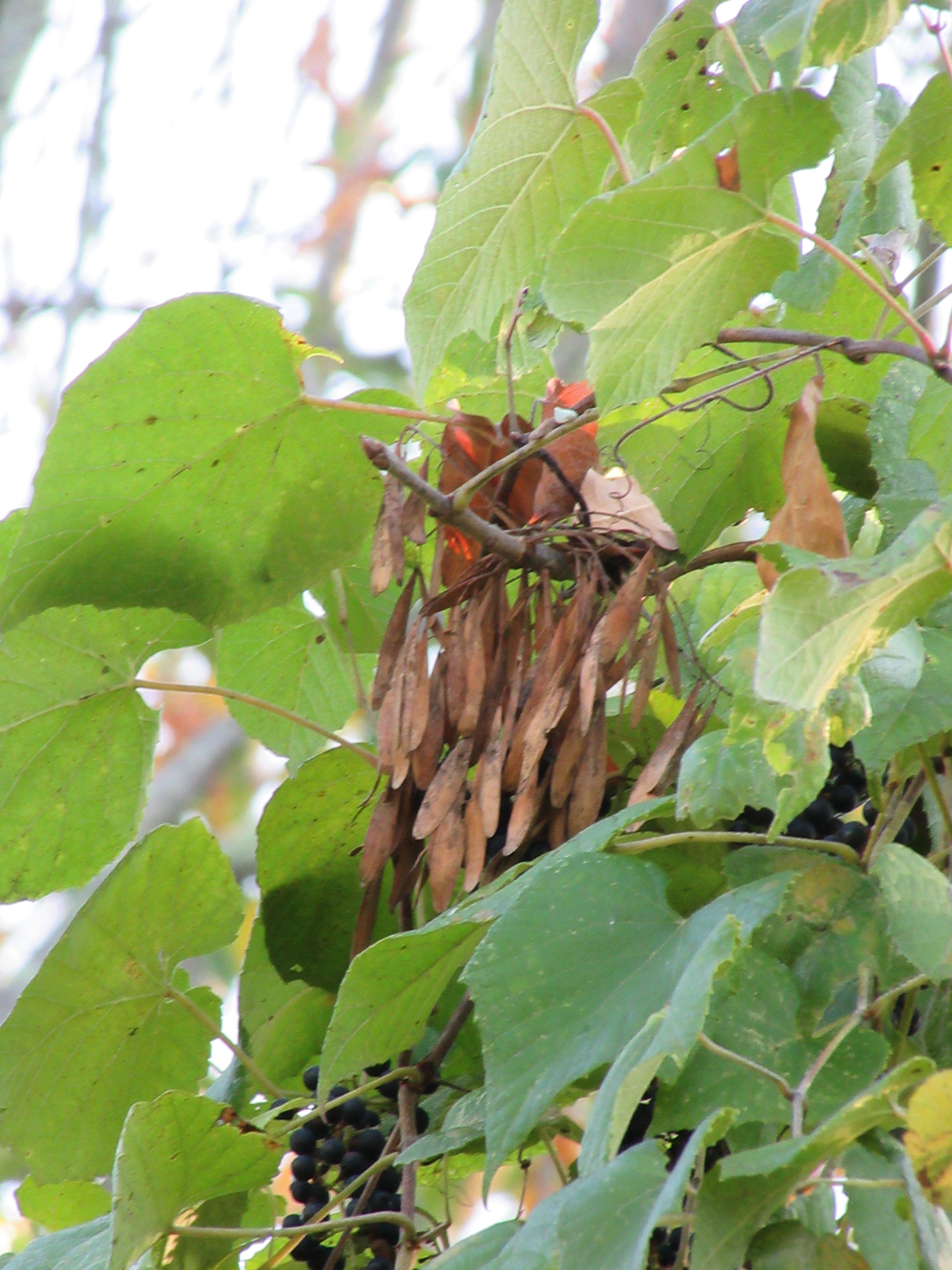 pumpkin ash seeds