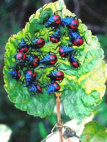 Florida predatory stink bugs